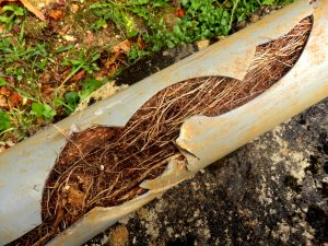 sewer-line-roots